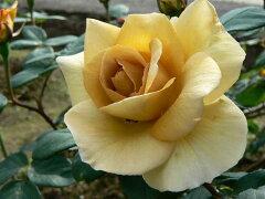 バタースコッチ(大苗)7号鉢植え つるバラ 四季咲き バラ苗 02P11Mar16
