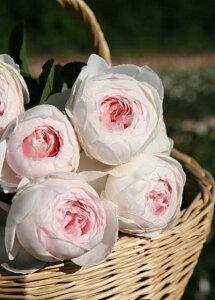 【バラ苗 つるバラ】アンティークタッチのバラクリスティアーナ(大苗予約)7号鉢植え つるバ...