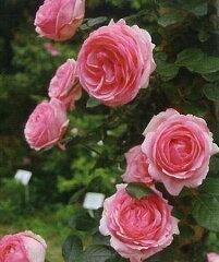 【バラ苗 つるバラ】つるヒストリー(二年生国産大苗予約)7号鉢植え