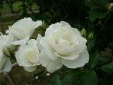 つるアイスバーグ(大苗)7号鉢植え  つるバラ 白花 バラ苗