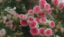 【バラ苗 つるバラ】つるミミエデン(二年生国産大苗予約)7号鉢植え