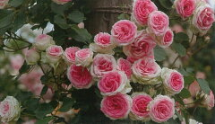 【バラ苗 つるバラ】つるミミエデン(二年生国産大苗予約)7号鉢植え つるバラ バラ苗