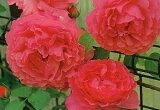イブ・ピアッチェ(大苗)7号鉢植え  四季咲き大輪系(ハイブリッドティーローズ) バラ苗