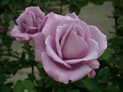 【バラ苗 つるバラ】つるブルームーン(二年生国産大苗)7号鉢植え