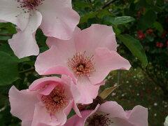 【バラ苗 つるバラ】つるデンティベス(二年生国産大苗予約)7号鉢植え つるバラ
