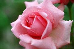 【バラ苗 つるバラ】羽衣(二年生国産大苗)7号鉢植え つるバラ バラ苗