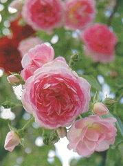 【バラ苗 つるバラ】ジャスミーナ(二年生国産大苗)7号鉢植え