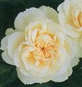 【バラ苗 つるバラ 白~黄色】モン ジャルダン エ マ メゾン(二年生国産大苗予約)7号鉢植え