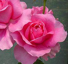 【バラ苗 つるバラ】パレード(大苗)7号鉢植え つるバラ バラ苗 P25Jan15