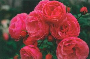 【バラ苗 つるバラ】ポンポネッラ(春の新苗)7号鉢植え