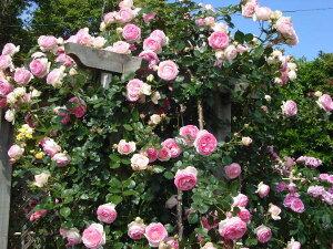 【バラ苗 つるバラ】ピエール・ドゥ・ロンサール(大苗)7号鉢植え つるバラ バラ苗 殿堂入り