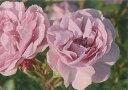 【バラ苗 つるバラ】レイニーブルー(大苗)7号鉢植え つるバラ  バラ苗 10P11Apr15