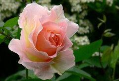 【バラ苗 つるバラ】ロココ(大苗)7号鉢植え つるバラ バラ苗 10P19Jun15