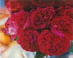 【バラ苗 つるバラ】ルージュ ピエール ドゥ ロンサール(二年生国産大苗予約)7号鉢植え ...