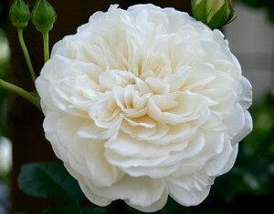 【バラ苗 つるバラ】ソンブレイユ(二年生国産大苗)7号鉢植え つるバラ バラ苗