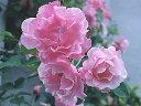スパニッシュビューティー(大苗)7号鉢植え つるバラ  バラ苗