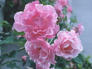 【バラ苗 つるバラ】スパニッシュビューティー(二年生国産大苗)7号鉢植え つるバラ  バラ苗