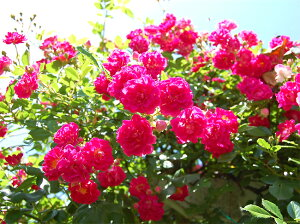【バラ苗 つるバラ】スーパーエクセルサ(大苗)7号鉢植え つるバラ バラ苗