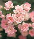 【バラ苗 つるバラ】夢乙女(春の新苗)7号鉢植え つるバラ