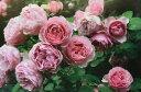 """Antonio Gaudi 花色:淡桃色に桃色のストライプ 香り★☆☆ 四季咲き 花径8〜10cm 小振りで形の良い花を咲かせます。 花もちが良く、花弁が堅く、雨でも傷みにくいので長期間楽しめます。 耐病性にも優れ育てやすい品種です。 """"レオナルド・ダ・ヴィンチ""""の枝変わり。 伸長2〜3m ※左の鉢植えの画像は2月の状態のイメージです。実際にお届けするバラ苗ではありません。 植え付けには大神ファームが自信をもっておすすめできるオリジナルのバラ専用土を使用しています。直接根にあたっても問題のないタイプの元肥も適量混ぜ込んでいますので、長期間ゆっくりと肥料効果が持続しますが、追肥は必要です。 大神ファームでは""""バイオゴールドセレクション薔薇(天然活性肥料)""""という肥料をおすすめしてます。 バラ苗と一緒にご注文いただければ、同梱致しますので送料がお得です。 ◆バイオゴールドセレクション薔薇(天然活性肥料) 1kg 1,700円(税別) ★★使い方★★ 土の上にパラパラまき、粒が溶け形が見えなくなったらふたたびまきます(目安:約1ヵ月後) 与える時期の目安は、芽が膨らみはじめる早春から生育期の間です。バラが葉を落としている冬の間は追肥はお休みします。 ●庭植え:50〜100粒/株を株元から30〜40cm離して円を描くようにばらまいて、表面の土に軽く混ぜ込むその後、水をたっぷりと与える ●鉢植え:7号鉢で約25粒 8号鉢で約30粒 お庭に植えつける場合は元肥を混ぜ込むと生育が違います! ◆バイオゴールドクラシック元肥(天然活性肥料)1.3kg 2,100円(税別) ★★使い方★★ 基本は、植え付け・植え替え時に土全体と良く混ぜるだけです。 花壇や菜園など広い範囲に植えるときなど土全体と混ぜられない場合は、植え穴に入れるだけでもOK。 既に植えてある地植えの樹木・果樹・バラなどは、適期に根を切りながら穴を掘り、その土とよく混ぜ合わせてお使いください。 ●使用時期:植えつけ、植え替え時 ●庭植え:200〜500g/株を植えつける土に混ぜ込む  植えつけ済みの場合は株のまわりに株元から30〜40cm離して円形に深さ10〜20cmの溝を掘って、良質の堆肥(牛ふんや腐葉土)及び土と混ぜ、水をたっぷりと与える ●鉢植え:植えつける土に混ぜ込み、植えつけ後たっぷりと水を与える。量は8号鉢で100g 【大神ファームオリジナルのバラ専用土】 赤玉土と鹿沼土をベースにピートモスやココチップ、くん炭などの植物性堆肥の他、動物性堆肥(完熟馬糞)を加えています。保水性・保肥力・排水性などバラの生育にとって大切な要素を十分に考えぬいた配合です。また、天然鉱物であるゼオライトを適量混ぜ込むことで肥料の流亡を防ぎ、窒素、リン、カリウムなどの栄養分を吸着し保肥力を高めています。 条件付き送料半額!! 一配送につき4の倍数の本数(品種はバラバラでもOK)でのお買い上げ頂いた場合 ※8本ご注文の場合は送料半額ですが、ご注文数が5〜7本の場合は別途1箱分の送料がかかりますので、ご注意ください。 ※お届け先が複数の場合やお届け時期が異なる商品をお申込みいただいた場合はそれぞれ送料がかかります。 ※ご注文確認画面及び自動返信のご注文確認メールでは送料が自動的に加算されますが、改めて再計算した確認メールを送ります。 ※この商品は2021年1月〜2月頃のお届け予定の予約苗です。現在庫はありません。 予約苗はキャンセルできませんのでご了承ください。 また、バラ苗の生育状況などにより商品を確保できない場合もございます。 御理解の程、お願い申し上げます。 *3月以降のお届けの場合3月〜11月は樹高が高くなり、箱のサイズが大きくなりますので、2本毎でのお届けに変更となります。一箱ごとに送料がかかります。4本単位でご注文頂いた場合の送料半額サービスは適用されませんので、ご了承ください。  ※予約苗の場合はシステムの都合上、一回のご注文では1品種しか指定できないようになっています。お手数ですが、1品種ごとにご注文ください。2鉢以上のご注文の場合はこちらで取りまとめてなるべく送料が安くなるように致します。つるバラ Climbing Roses 壁やフェンス、アーチにはわせるなど、様々な仕立てで家や庭や垣根を飾ります。一面に花を咲かせて、庭に立体感や奥行きを演出します。小中輪多花性で一季咲きのランブラーと大輪四季咲きのクライマーは、はじめからつるバラとして改良されたもの。他に木立性バラが突然変異して枝変わりしたものがあります。"""