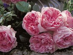 【バラ苗 デルバール Delbard】コンテス・ドゥ・セギュール(二年生国産大苗)7号鉢植え
