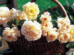 【バラ苗 デルバール Delbard】ジャルダン・ドゥ・レソンヌ(二年生国産大苗)7号鉢植え