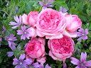 【バラ苗 デルバール Delbard】ラ・ローズ・ドゥ・モリナール(二年生国産大苗予約)7号鉢植え