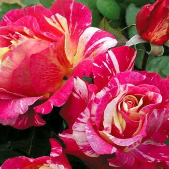 モーリス・ユトリロ (大苗)7号鉢植え デルバール(Delbard) フレンチローズ 四季咲き バラ苗