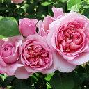 ナエマ (大苗)7号鉢植え つるバラ デルバール(Delbard) フレンチロー…
