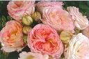 【バラ苗 デルバール Delbard】ペッシュ・ボンボン(大苗予約)7号鉢植え デルバール(Delbar...