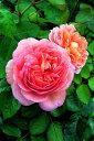 【バラ苗 イングリッシュローズ つる性】アブラハム ダービー(二年生国産大苗)7号鉢植え