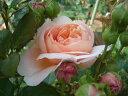 【バラ苗 イングリッシュローズ】アンブリッジローズ(大苗予約)7号鉢植え イングリッシュロ...