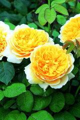 【バラ苗 イングリッシュローズ】シャルロット オースチン(二年生大苗)7号鉢植え