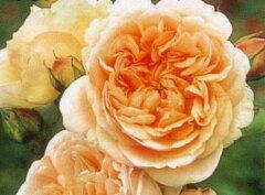 【バラ苗 イングリッシュローズ】エブリン(二年生大苗予約)7号鉢植え イングリッシュローズ...