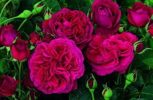 【バラ苗 イングリッシュローズ つる性】フォールスタッフ(二年生大苗予約)7号鉢植え
