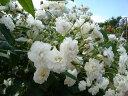 【バラ苗 イングリッシュローズ】フランシーヌ オースチン(二年生大苗予約)7号鉢植え