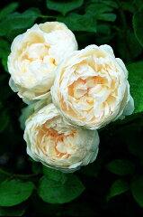 【バラ苗 イングリッシュローズ】グラミス キャッスル(二年生大苗予約)7号鉢植え