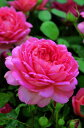 【バラ苗 イングリッシュローズ】ジュビリー・セレブレーション(二年生大苗予約)7号鉢植え ...