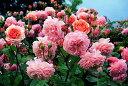 【バラ苗 イングリッシュローズ】リアンダー(大苗) 7号鉢植え イングリッシュローズ(デビ...