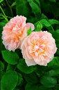 【バラ苗 イングリッシュローズ】メアリー マグダリン(二年生大苗予約)7号鉢植え