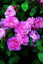 【バラ苗 イングリッシュローズ】メアリーローズ(ニ年生大苗)7号鉢植え イングリッシュロー...