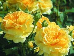 【バラ苗 イングリッシュローズ】モリニュー(二年生国産大苗)7号鉢植え イングリッシュロー...