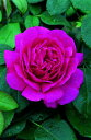 ノーブル・アントニー(大苗)7号鉢植え イングリッシュローズ(デビッド・オースチンローズ) バラ苗