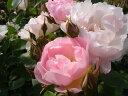 【バラ苗 イングリッシュローズ】ピーチブラッサム(二年生大苗予約)7号鉢植え