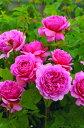 【バラ苗 イングリッシュローズ】プリンセス・アレキサンドラ・オブ・ケント(大苗)7号鉢植え...