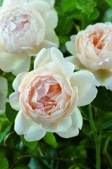【バラ苗 イングリッシュローズ】ウォラトン・オールド・ホール(大苗予約)《2011年新品種》 ...