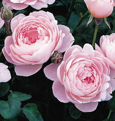 【バラ苗 イングリッシュローズ】クイーン・オブ・スウェーデン(二年生国産大苗)7号鉢植え ...