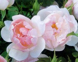 【バラ苗 イングリッシュローズ】スキャボロ フェアー(二年生大苗)7号鉢植え