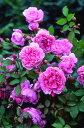 【バラ苗 イングリッシュローズ】シスター エリザベス(二年生大苗予約)7号鉢植え