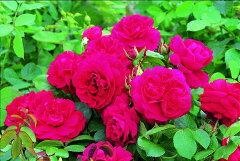 【バラ苗 イングリッシュローズ】テス オブ ザ ダーバーヴィルズ(二年生大苗予約)7号鉢植え